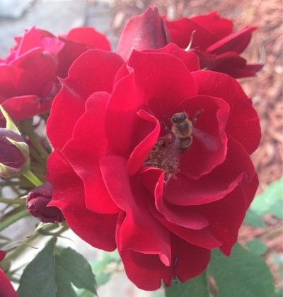 Buzzing Red Rose