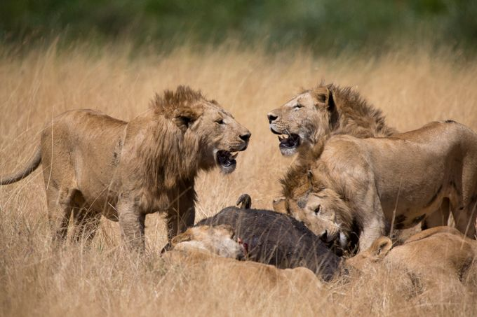 Lion Kill by TrekLightly - Food Chain Struggles Photo Contest