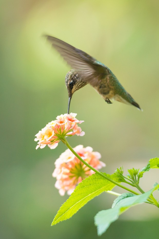 Ruby Throated at the Lantana by AMills - Hummingbirds Photo Contest