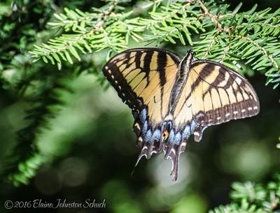 Eastern Tiger Swallowtail Open Wings