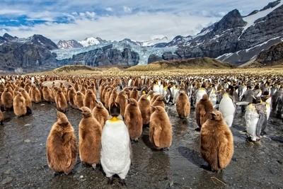 Land of King Penguins