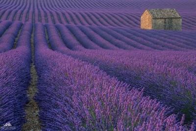 Lost in a purple field