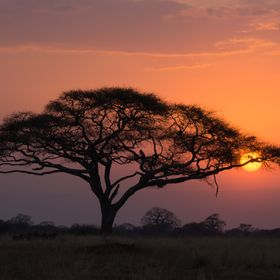 It was sunset time and got this beautiful silhouette of the acacia trees in Tarangerie Park in Tanzania.