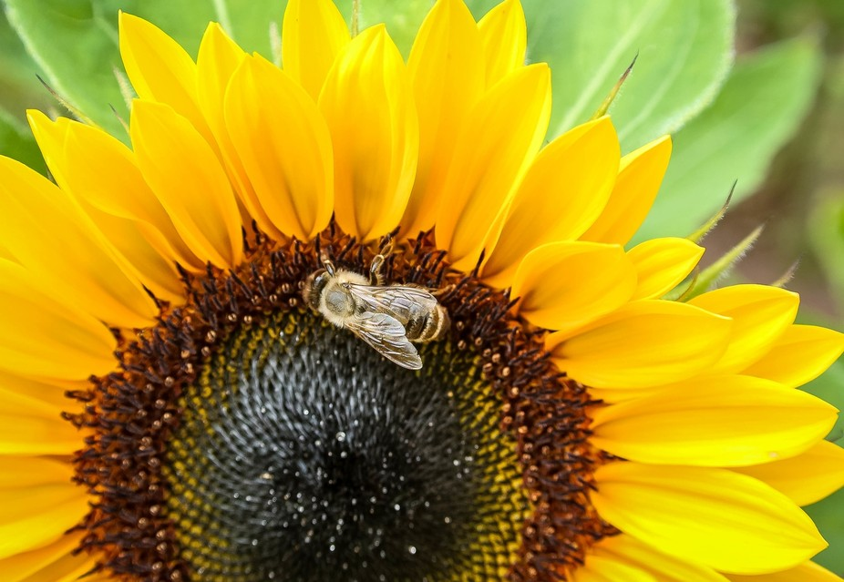 Another macro shot of a sunflower with a bee.  I took this while picking flowers a few villages o...