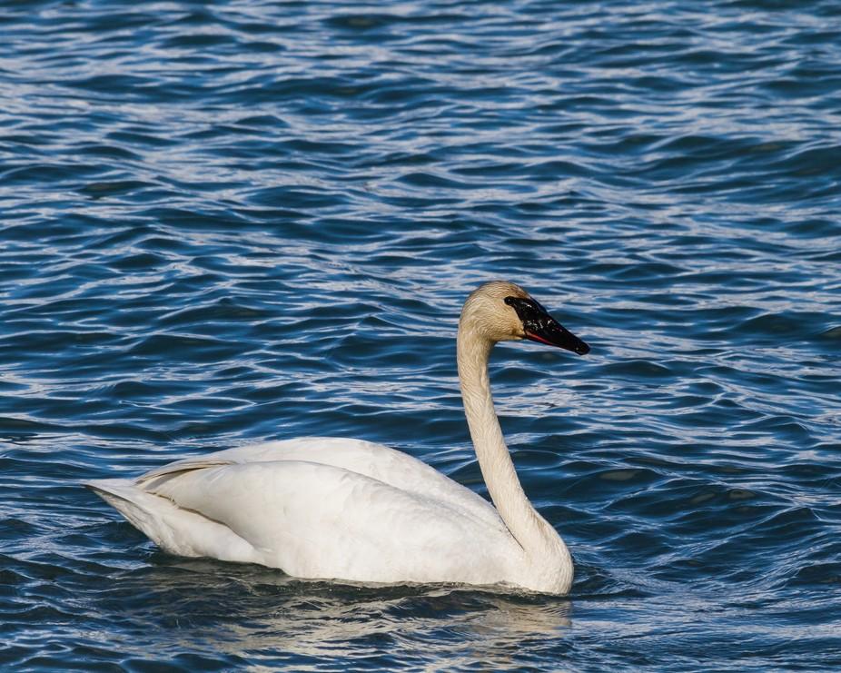 One Swan-8505