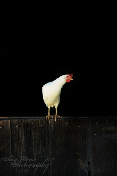 Chicken on a Fence