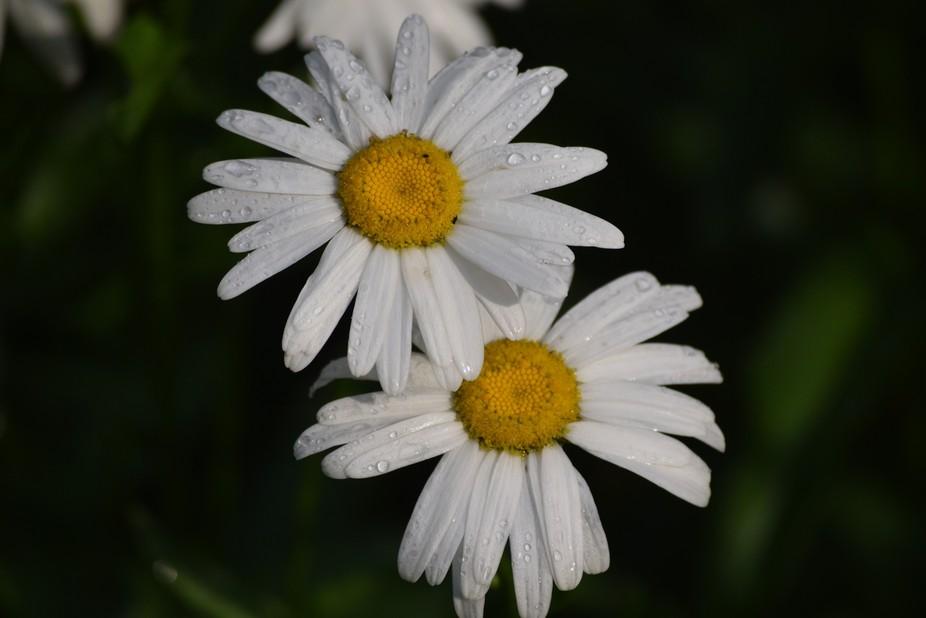 rain drops and daisys