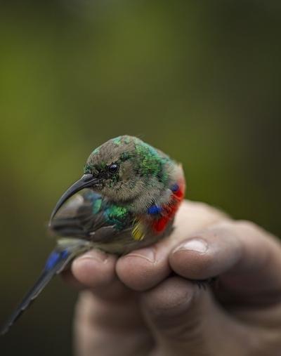 Sunbird, Africa's hummingbirds