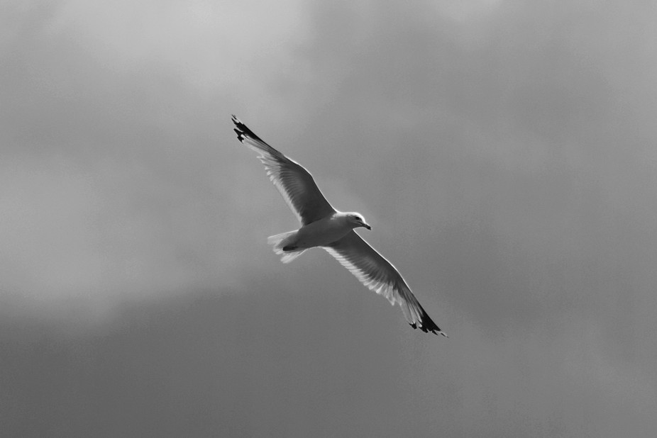 Infrared Seagull