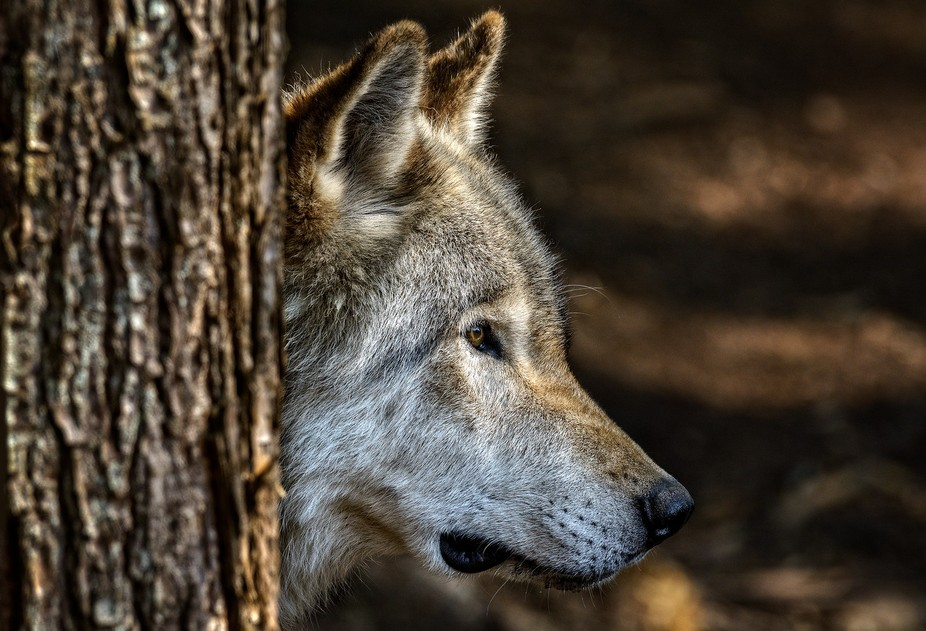 Avec son allure de gros berger allemand, la taille du loup dépasse celle du coyote. Le pelage es...