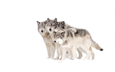 4 Timber wolves in winter