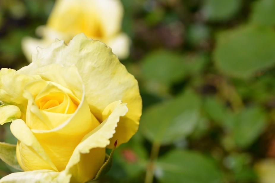 Golden Rose II