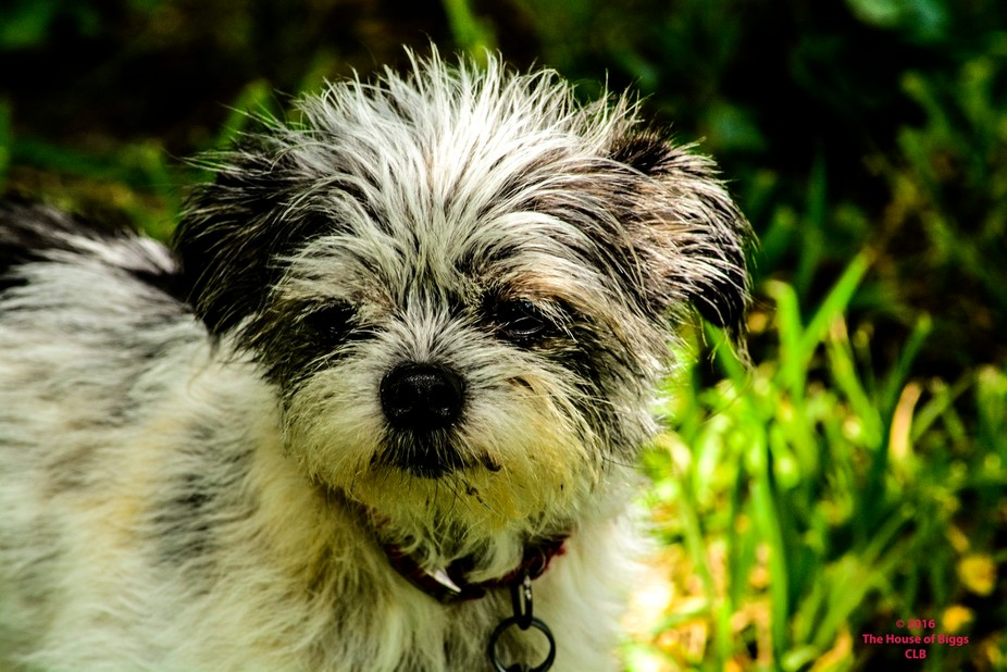 """A tiny rescue dog; she has a name but she has been called """"Little Bit"""" so much,..."""
