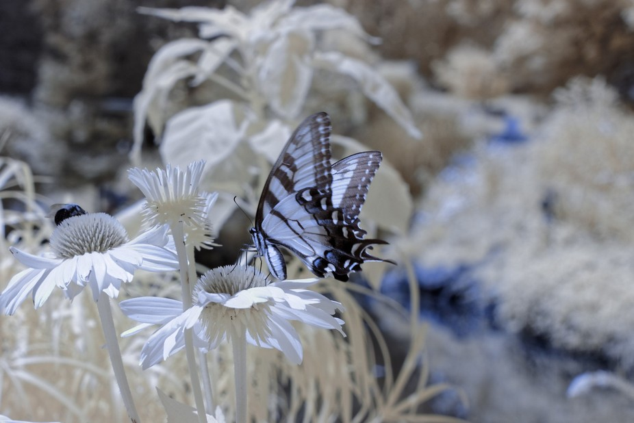 this picture was taken with a fully converted Canon 50d camera of a Butterfly landing on a Cne Fl...