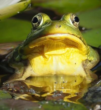Bullfrog 6