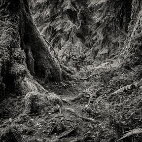 The trails of Hoh Rainforest, Olympic National Park, lead hikers on a mystical journey through woods with majestic trees, lush ferns, and mossy r...
