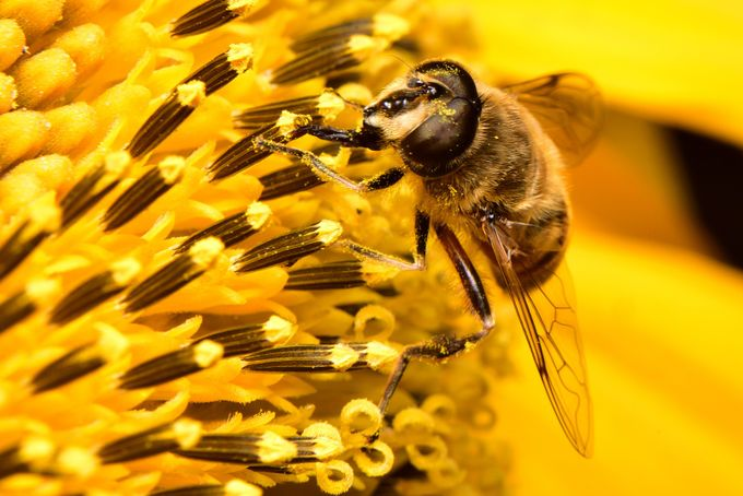 Hover Fly disguised as a Bee on a Sunflower by Creative_Click - Can You See Me Photo Contest