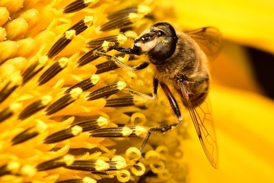 Hover Fly disguised as a Bee on a Sunflower