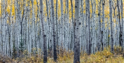 Forest of aspen trees in Autumn