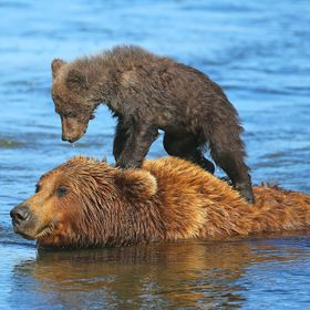 A Brown Alakan Bear bear sow taking her 4-5 month old cub on a river crossing in Lake Clark,National Park,Alaska