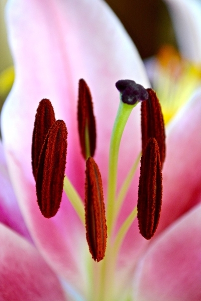 DSC_0850 'Macro lily study 2'