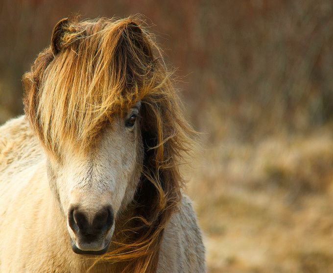 Icelandic horse by MagnusL - Farms And Barns Animals Photo Contest