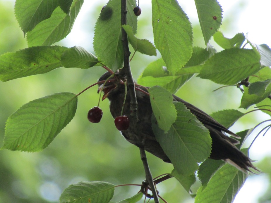 Bird eating cherry