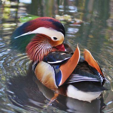 Mandarin Duck IMG_5964