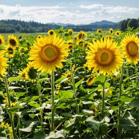 A small field of sunflowers near Antler Hill Village at the Biltmore Estate in Asheville, NC U.S.A. Latitude: 35° 33.098'N Longitude: 82° ...