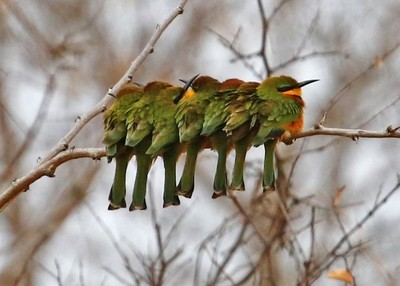 Row of Little Bee Eaters