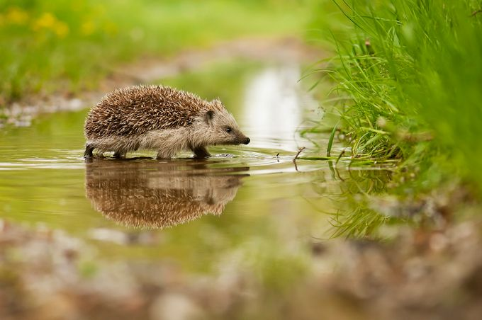 Hedgehog by MichalCandrak - Animals And Rule Of Thirds Photo Contest