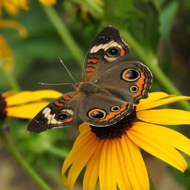 I was taking differant shots of all the butterflies in the flower garden, playing with differant settings on my camera when I was fortunate to get this shot of a Common Buckeye. One of my favorites for sure.