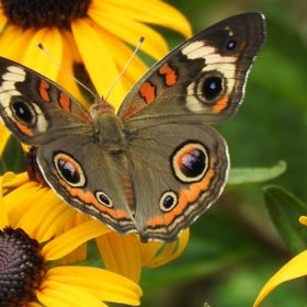 Common Buckeye feeding