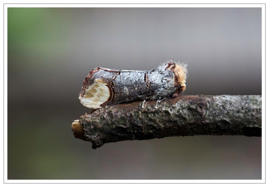 Moth which looks like the twig it rests upon