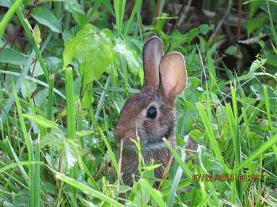 Alert young bunny