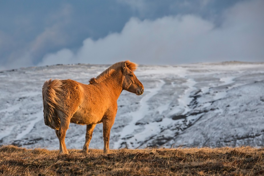 "An Icelandic horse. The image is taken in April by the first ""smell"" of Spring ..."