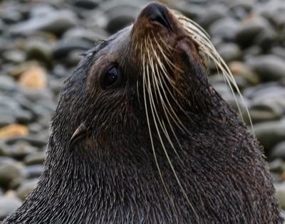 """Back in Heaven series (Aotearoa) "" -  NZ Fur Seal colony #45, Oamaru, S. Island"