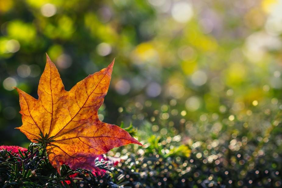Sycamore Autumn Leaf Bokeh