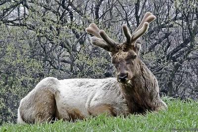 Elk at rest