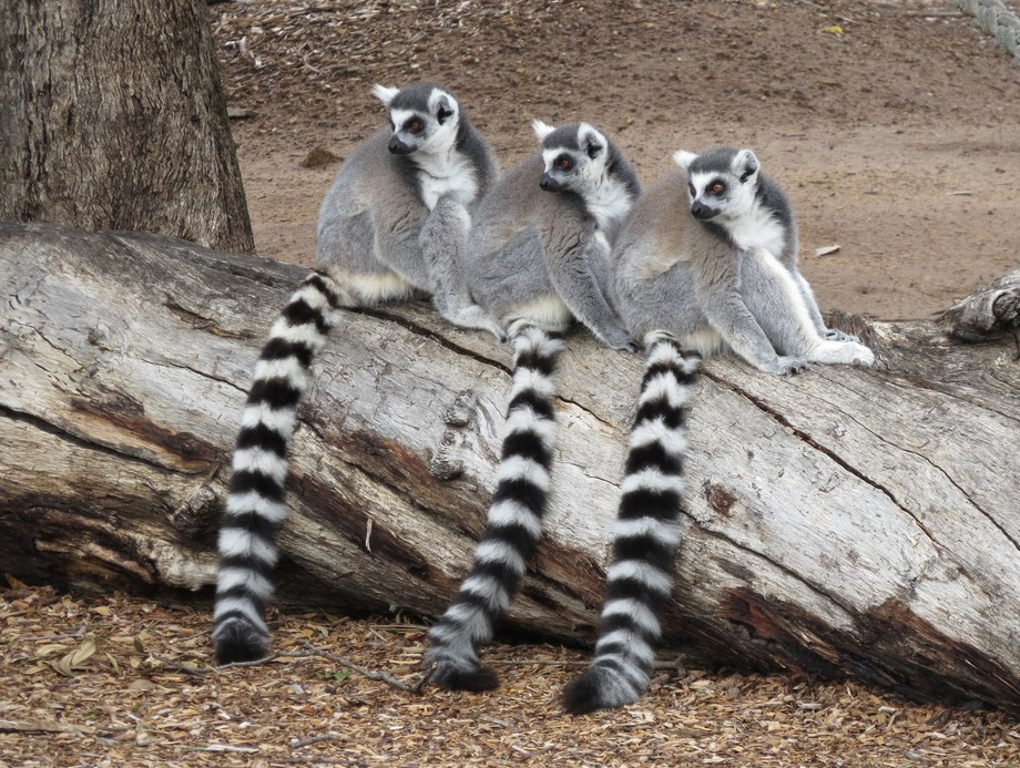 A photo taken at my local zoo...... The Lemur Line.....