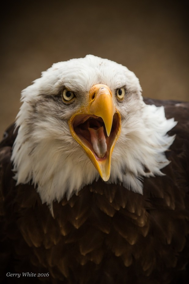 Scream by gesser - Just Eagles Photo Contest