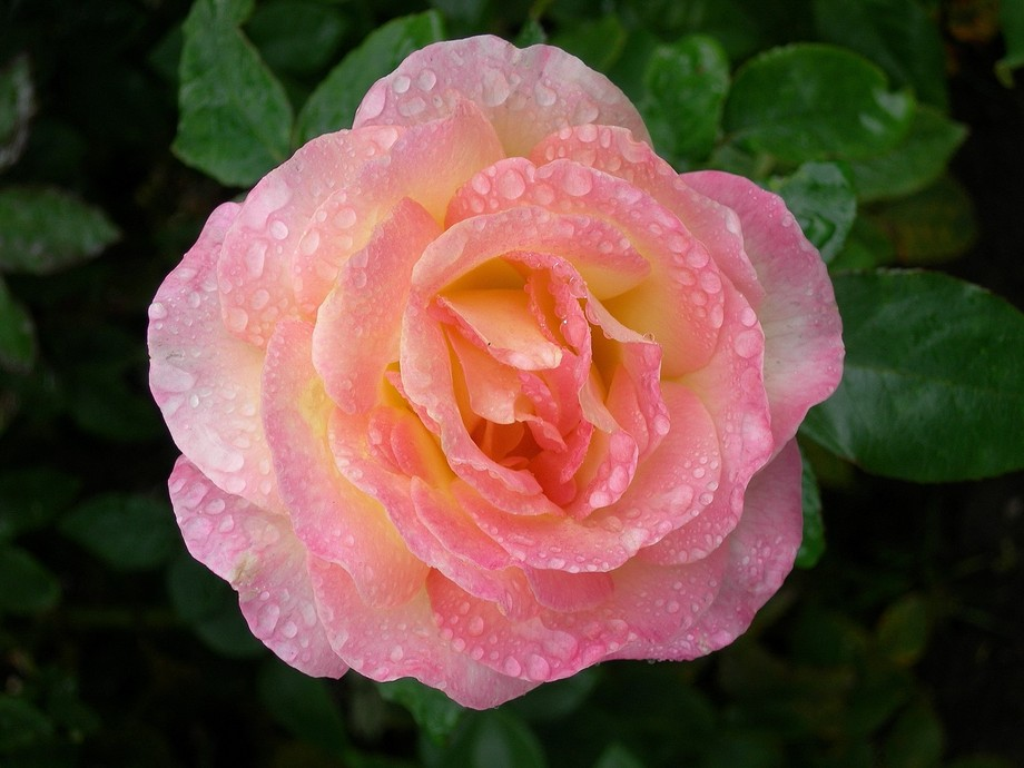 On a second honeymoon trip to Niagara Falls, Canada,  I captured those perfect rose in a light mi...