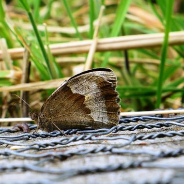 Meadow Brown Male Butterfly.
