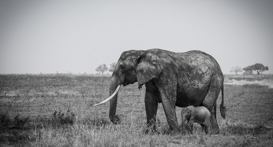 The bond between a baby #elephant and its mother is one of the closest among animals in the world...