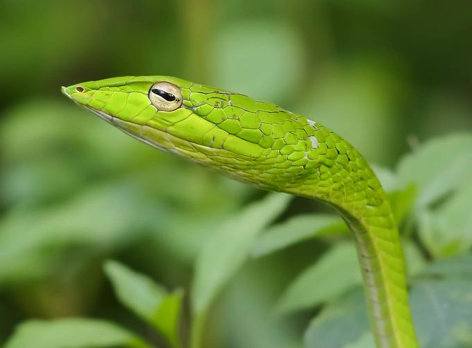 Whip snake, Hort Park, Singapore. by davidscottrobson - Snakes Photo Contest