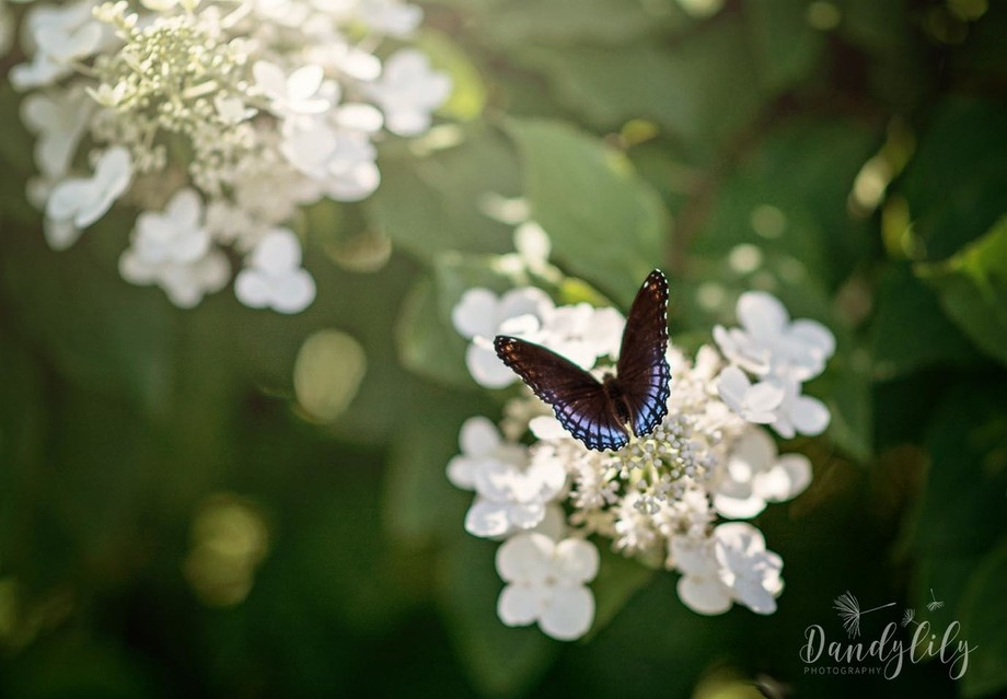 Red spotted purple butterfly on our flowers