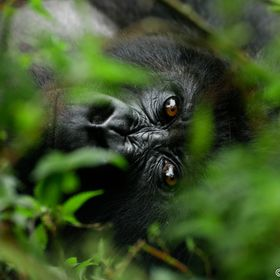 A mountain gorilla's piercing eyes shine through the vegetation as he lies down to rest.