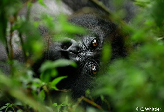 Lying Eyes by chriswhittier - Monkeys And Apes Photo Contest