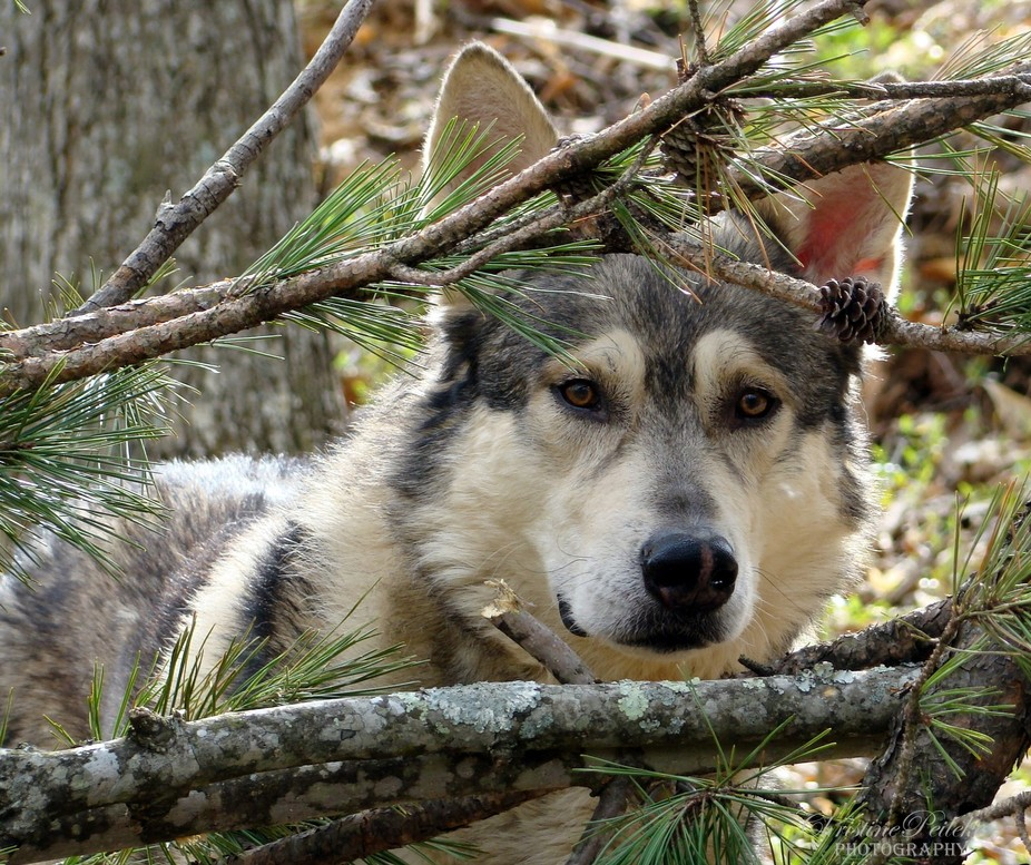 Our Wolf/Husky mix dog, Little Bear, is our gentle giant. His quiet, good nature has been a joy t...