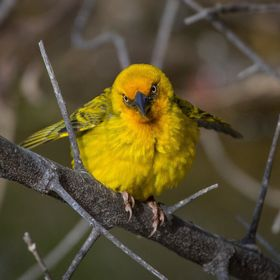 Weaver bird, demonstrating to potential mates.